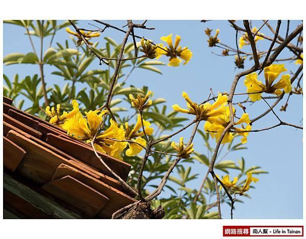 黃風鈴木-3.jpg