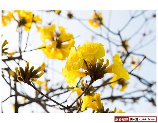 黃風鈴木-4.jpg