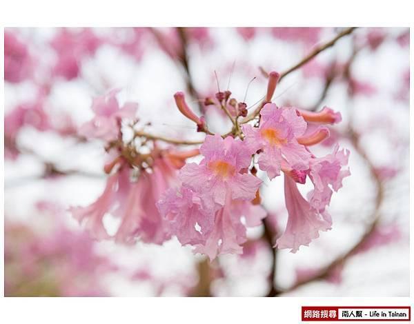 東豐路粉紅風鈴木