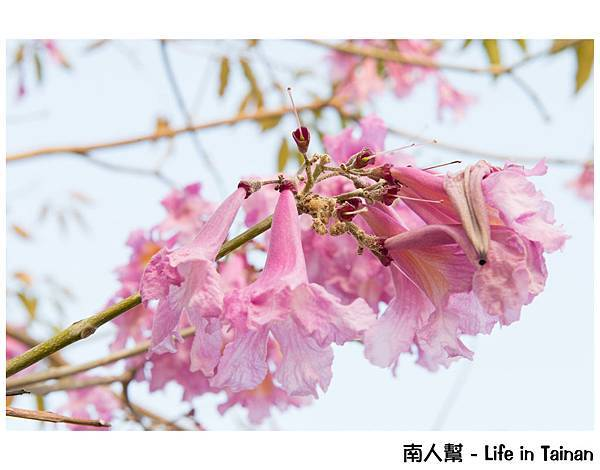 風鈴木、木棉花(東豐路)