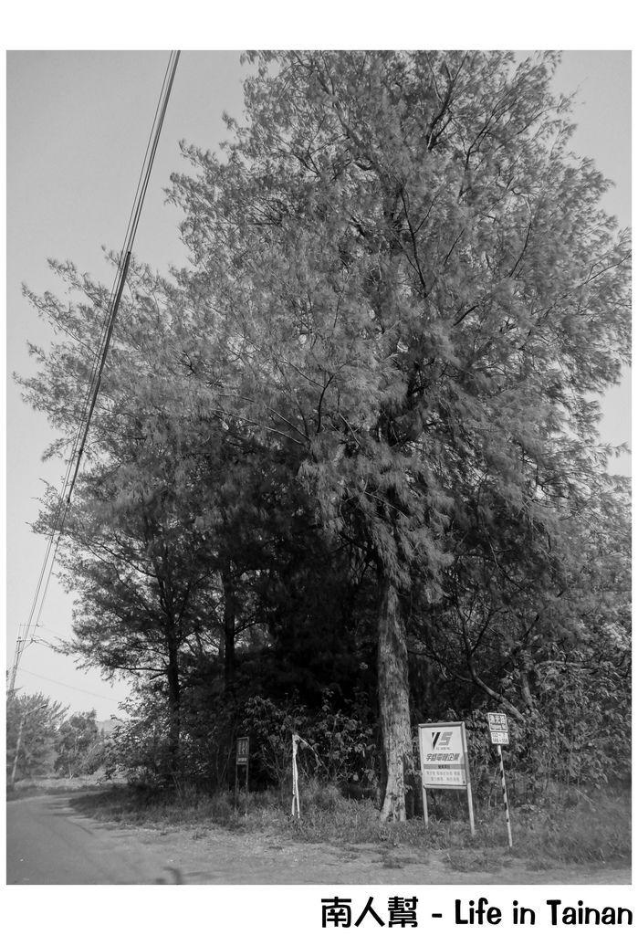 漁光島苦楝木.羊蹄甲