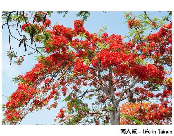鳳凰樹(安億橋旁)