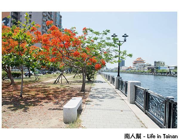 鳳凰花(臨安橋旁)
