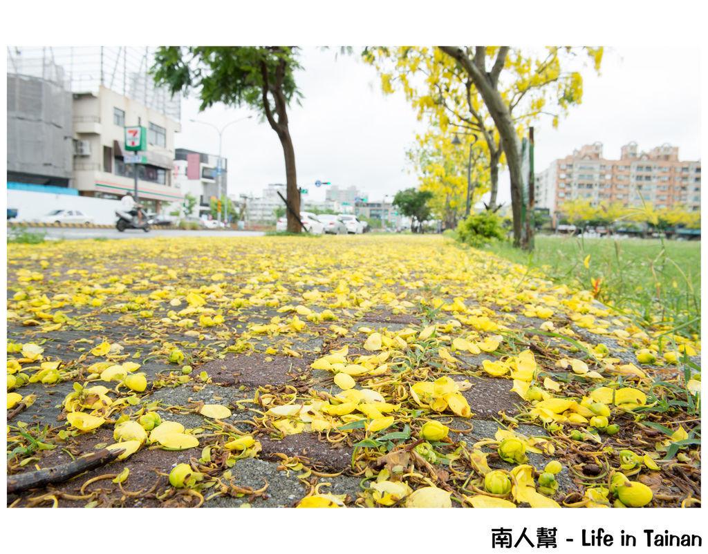 阿勃勒.鳳凰花(台南市政府)