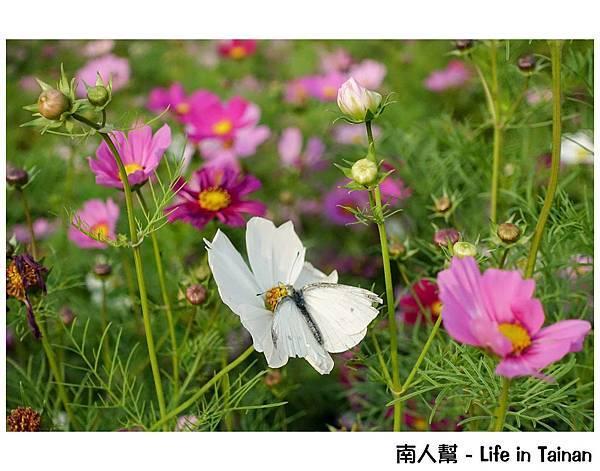 2016學甲蜀葵花季