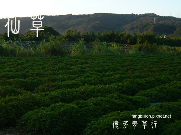 仙草01.jpg