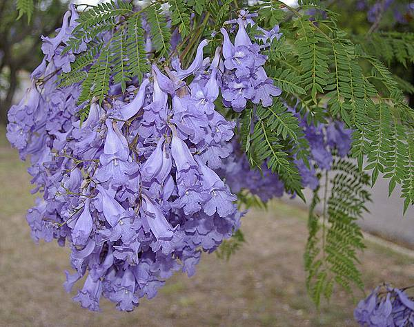 758px-Jacaranda_mimosifolia_flowers_and_leaves