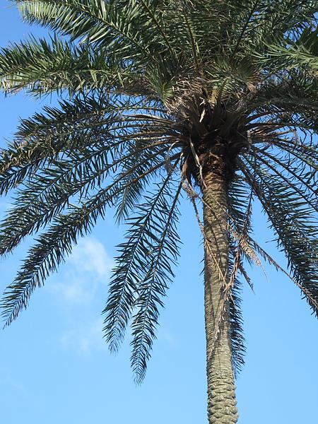 椰子樹嗎?