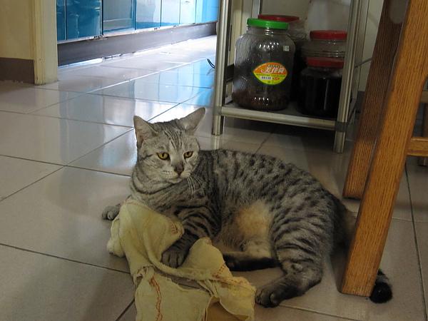 颱風天不安份(?)的笨貓
