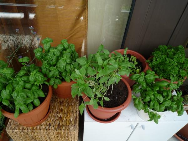 香草植物們