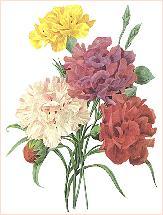 Carnations_redoute康乃馨3