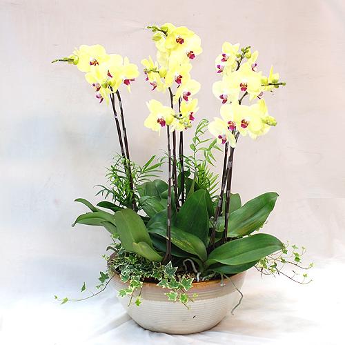 2011黃蘭盆栽.jpg