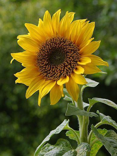 390px-A_sunflower.jpg