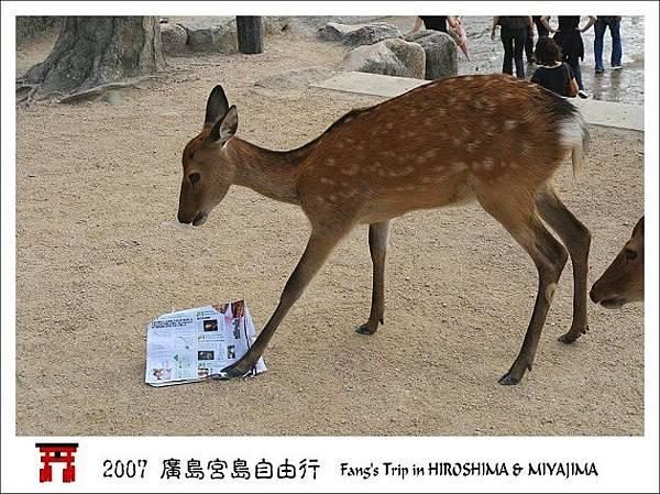 搶食報紙的鹿群