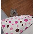 手縫時阿貓一直好奇的張望