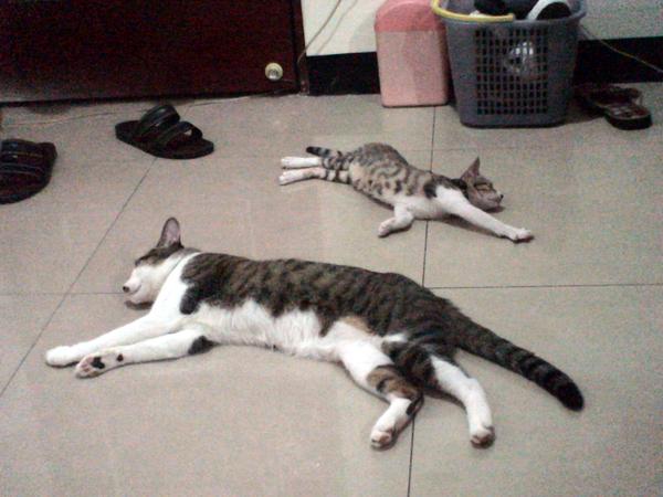 2條貓 在做瑜珈