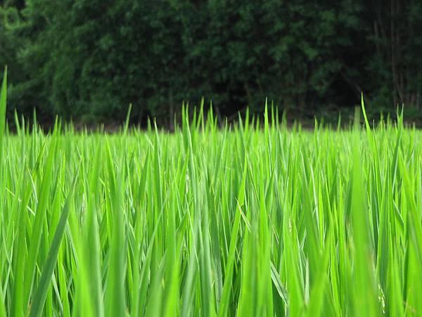 欣欣向榮的稻子
