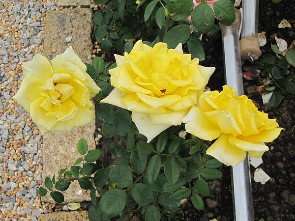 黃玫瑰第一次看到