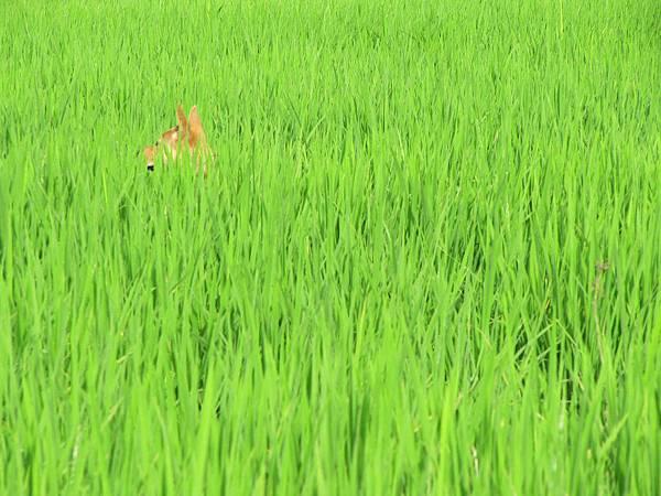 咦?有東西躲在稻子裡