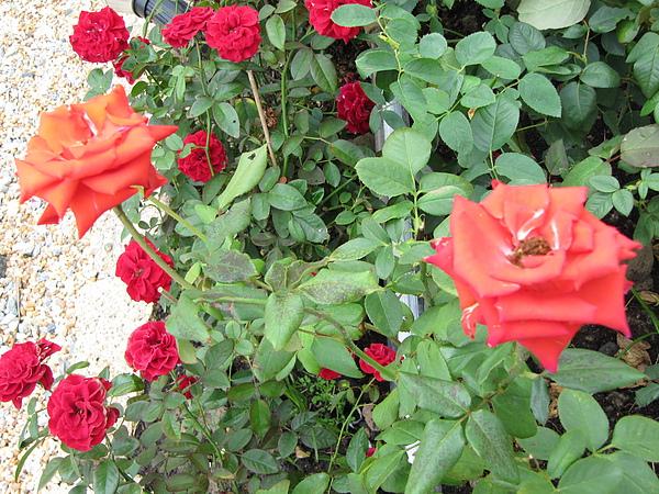 各色的玫瑰