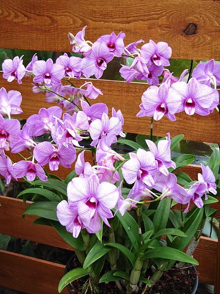 漂亮的蘭花
