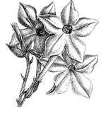 21-jasminetobacco.jpg