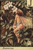 fairy jasmine.jpg