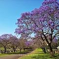 澳洲墓園的藍花楹.jpg