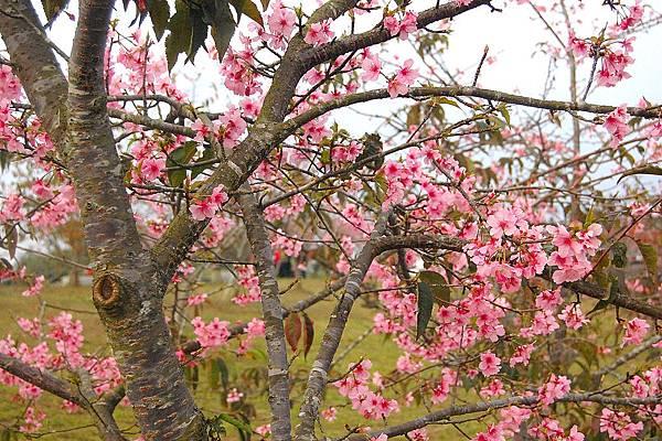山櫻花之美