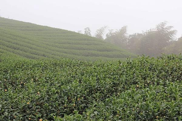 19-深山林內的茶園