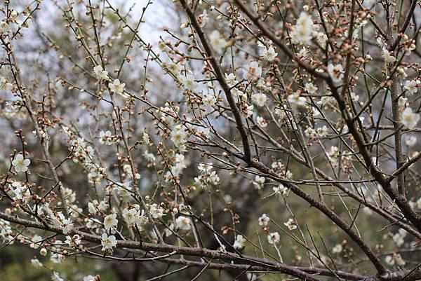 17-6號花園的梅花