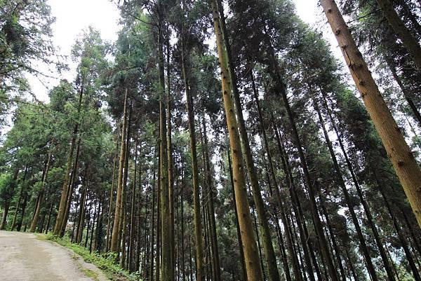 11-香杉的森林