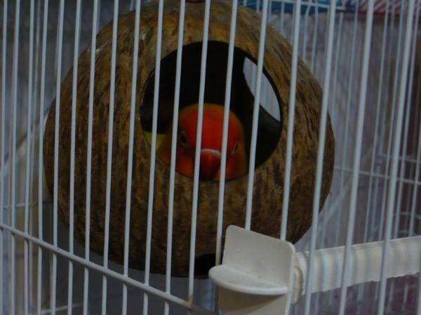 窩在椰子殼裡睡覺的奇奇