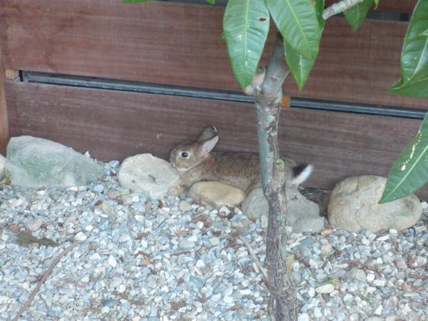 窩在ㄧ角的小棕兔