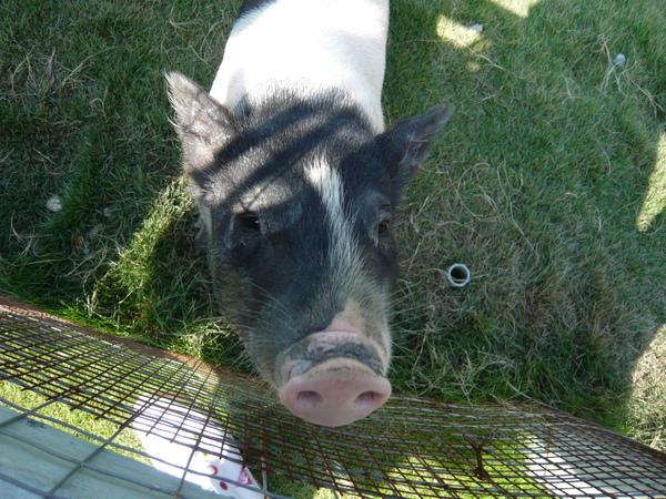 嘿~小豬 你的ㄎㄠ/ㄎㄠ/鼻聲很有趣耶!