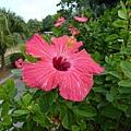 粉紅色的扶桑花