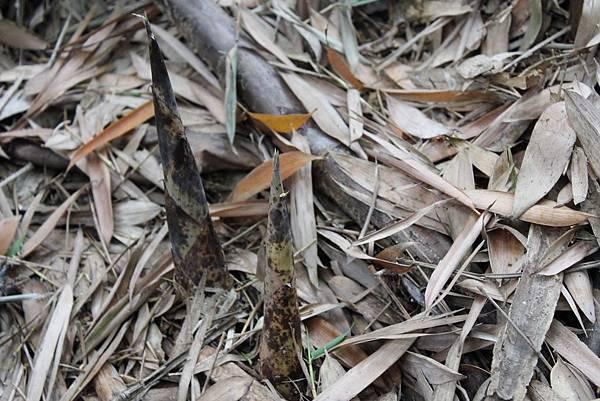 【厚生訪農趣】初夏冒頭的小鮮筍~~一不小心就~~~