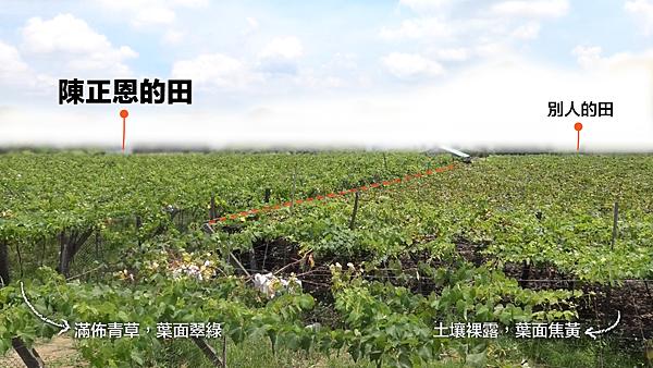 彰化大村陳正恩.巨峰葡萄blog草生對比