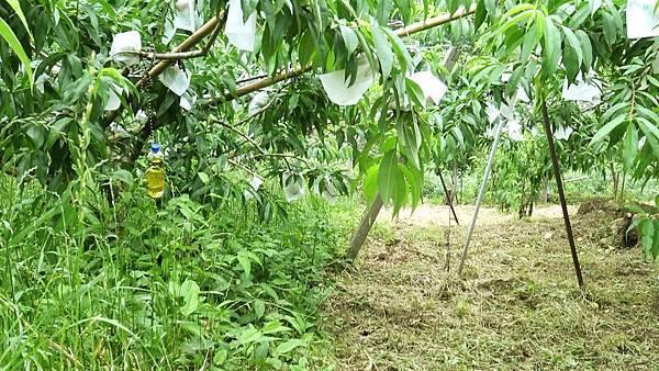 桃園復興阿頓blog阿頓果園地界.jpg