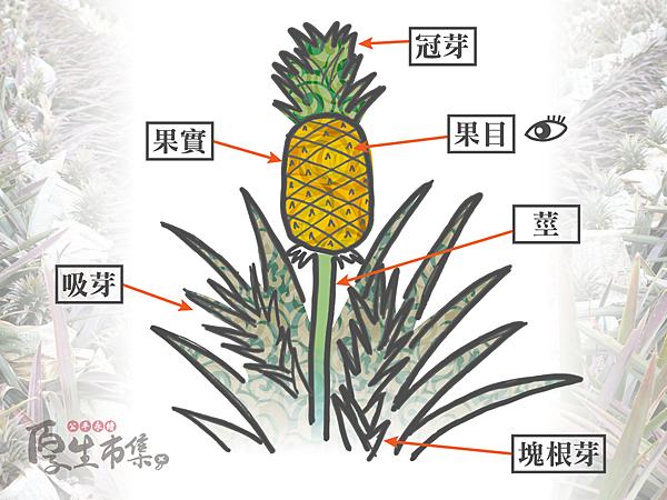 為什麼鳳梨會咬舌