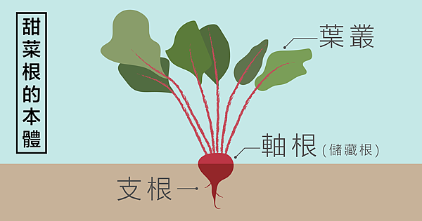 blog甜菜根配圖01本體長這樣-01.png