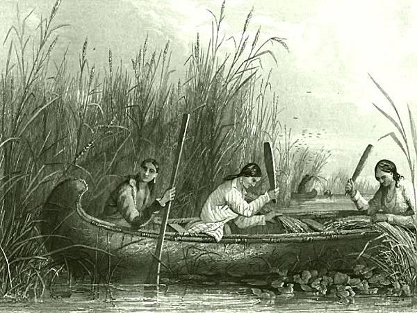 blog19世紀北美原住民採收黑米.jpg