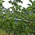 鄰田區的甜柿