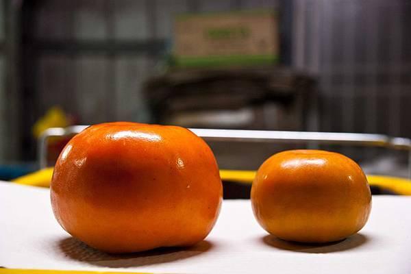 無肥料後,柿子變小了