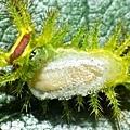 被寄生蜂寄生的刺蛾幼蟲