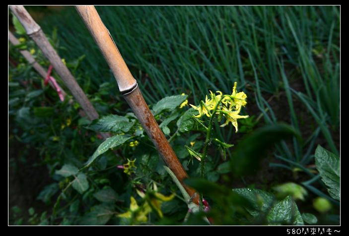 蕃茄的花.jpg