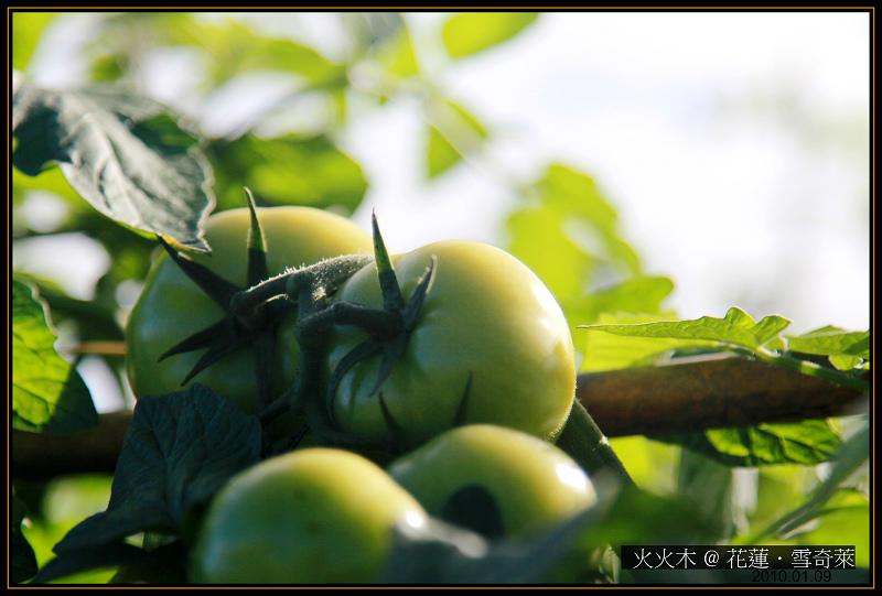 番茄01.jpg