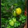 母茄帶小茄.jpg