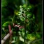 綠蕃茄.jpg