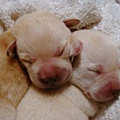 剛出生的小小狗